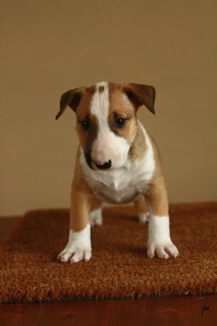 bull terrier - Look how stinkin' cute!  I think Millie needs a sibling. :D