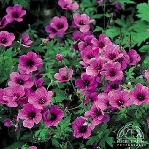 Plant Profile for Geranium psilostemon 'Bressingham Flair' - Cranesbill Geranium Perennial