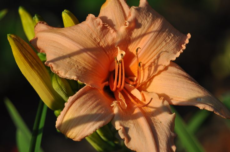 """day lily, """"pink embers"""" actually a great shade of peach!"""