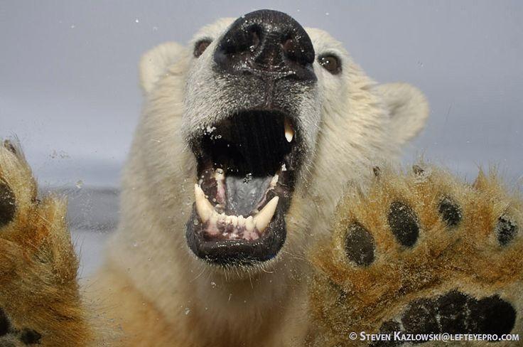 Polar Bear Growl | white bears | Pinterest