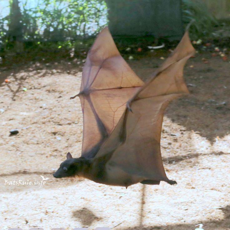 Rehab Megabat Little Reds flying 18/02/2017 Flying-fox Fruit Bat