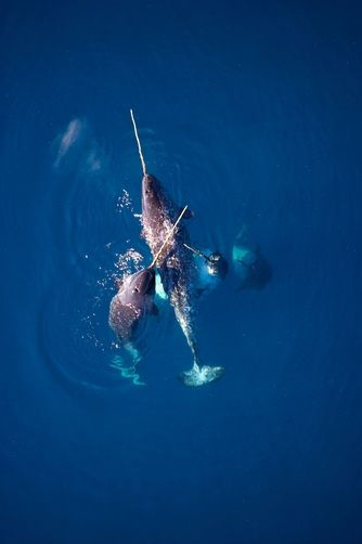 thelovelyseas:  Narwhals gather en masse to eat codfish by Paul Nicklen
