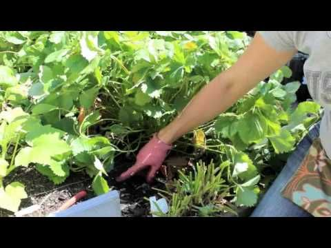 How to Renovate (prune) your June-bearing Strawberry Patch @Stacy Brewer