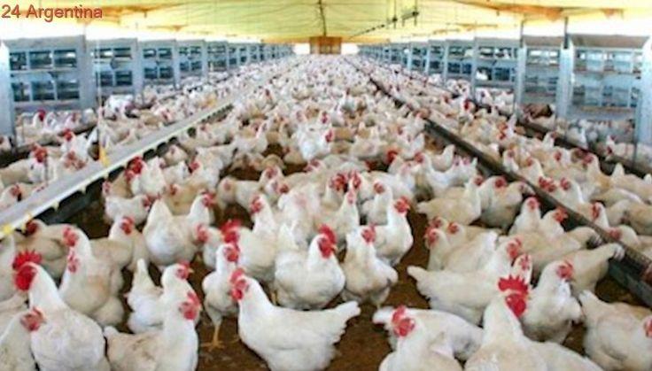 Argentina podrá exportar carne aviar a Canadá