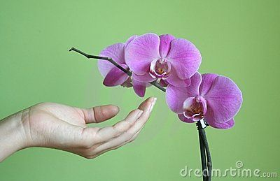 A pink orchid with a hand