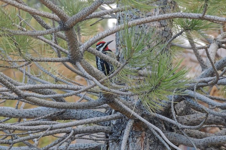 Yellow-Bellied Sapsucker ©Steve Frye. Wild Bird Center of Boulder, CO Saturday Morning Bird Walk in Boulder County – March 29, 2014.