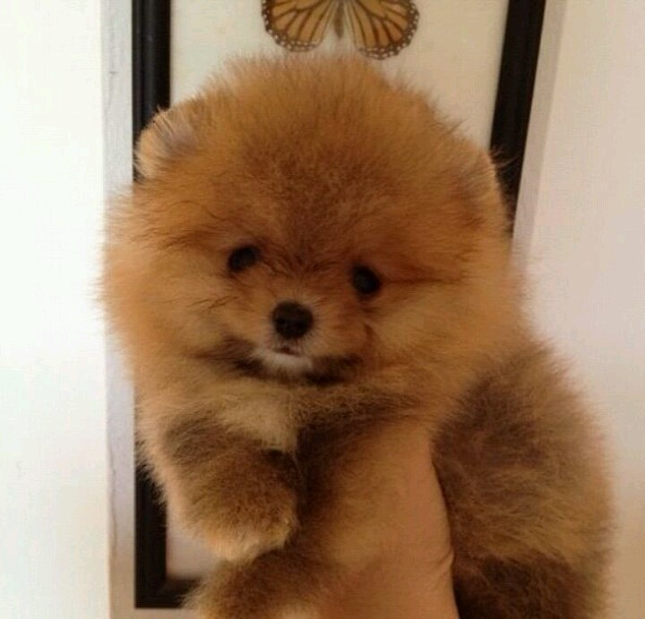mini chow chow | Puppies | Pinterest | Chow chow and Minis