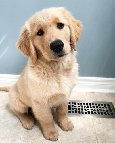 Golden Retriever Information Including Pictures Training
