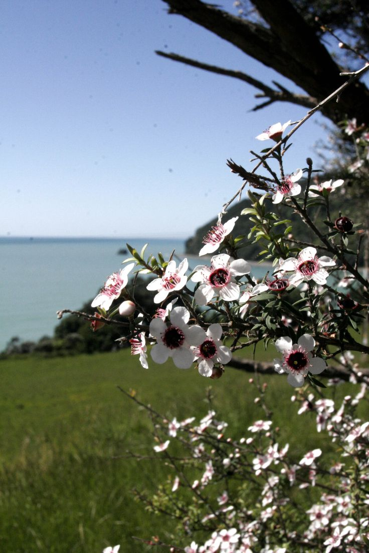 Manuka flowering East Coast NZ.