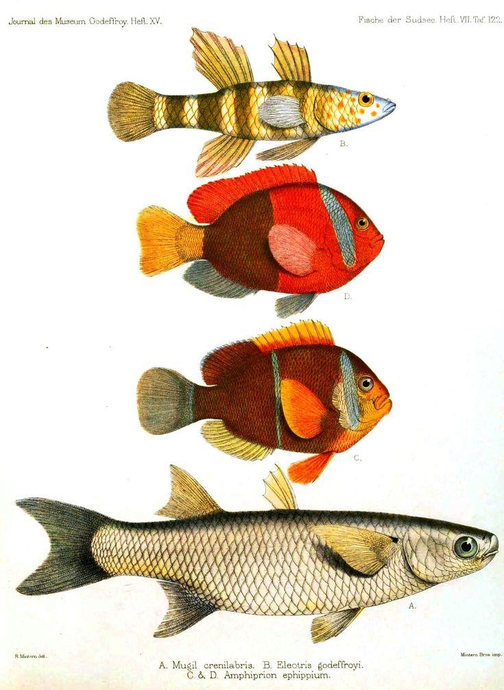 Animal – Fish – Red and orange fish | Vintage Printable