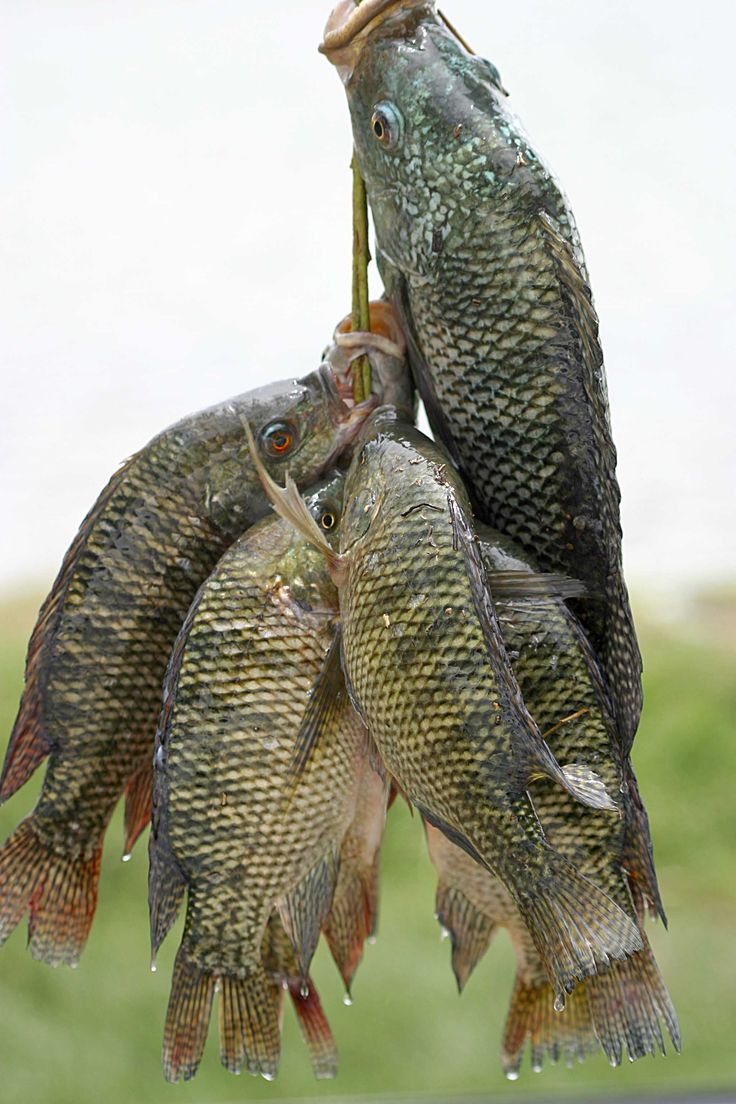 Fresh_tilapia.A fresh water fish that is becoming quite common in the market and restaurants..Easily raised on Fish Farms!!