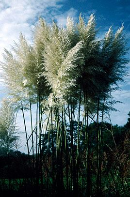 Cortaderia selloana 'Sunningdale Silver' - Poaceae - clump - long linear leaves - 1.5m long - rough margins - long feathery panicle inflorescence on erect stalks - low maintenance architectural - prairie planting - drought tolerant