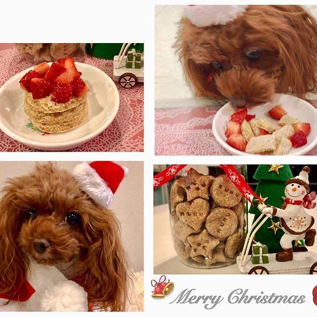 ♡ ✤ ✤ ♬  #メリークリスマス  #クリスマス  #サンタ犬 #騒がしい朝  #幸せな時間 ✨ . #手作りケーキ  #パンケーキ  #イチゴ大好き  #全粒粉クッキー  #手作りクッキー  #子どもとクッキング  #子どもたちからプレゼント . #愛犬  #トイプードル  #トイプードルレッド #ふわもこ部  #癒しわんこ  #るる #2016  #記録  #ruru___ . #Poodle  #toypoodle  #Prettydog #mydog  #lovedog  #todayswanko #instadog  #dogstagram  #dog .
