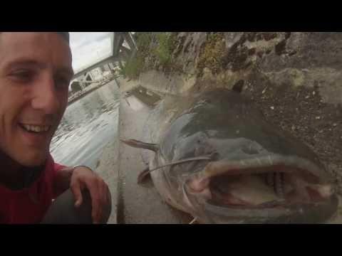 Silure pêche au leurre et au vif