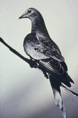 The story of the Passenger Pigeon is a tragic extinction story. As recently as 200 years ago they weren't anywhere near extinction. In fact, they were actually the most common bird in North America & some reports counted single flocks numbering in the billions. Pigeon meat was commercialized as cheap food, which led to a hunting campaign on a massive scale. Furthermore, due to the large size of their flocks, the birds were seen as a threat to farmers. The last Passenger Pigeon died on…