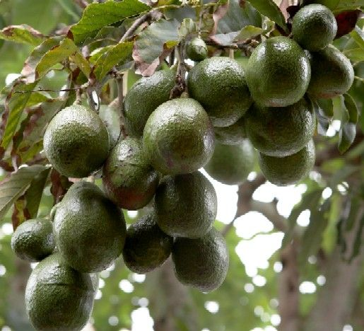 Avocado Fruits in well established tree