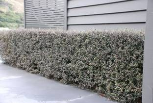 Corokia Frosted Chocolate Hedge