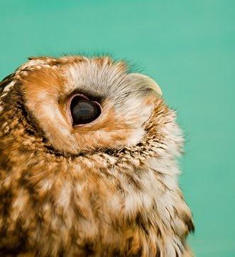 Owl: Cute Baby, Little Owl, Pet, Baby Owl, Beautiful, Cute Owl, Birds, Photo, Animal