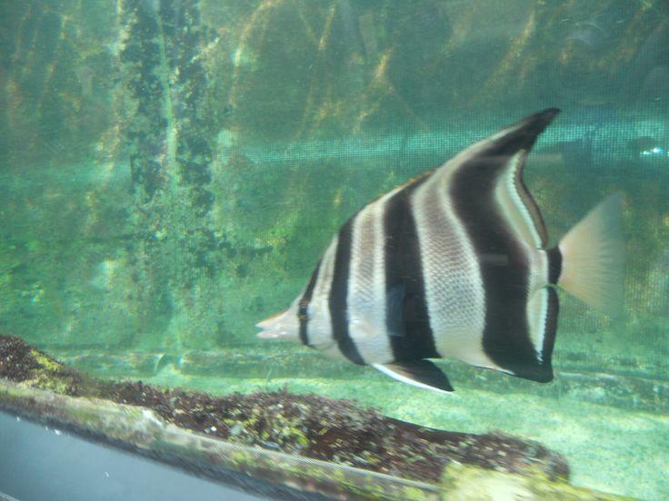 Peixe-zebra