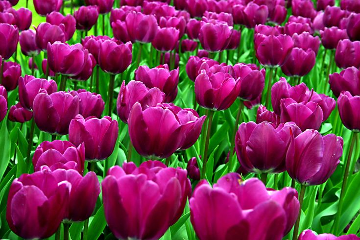 Tulip Field Wallpaper | feelgrafix.com | Pinterest ...