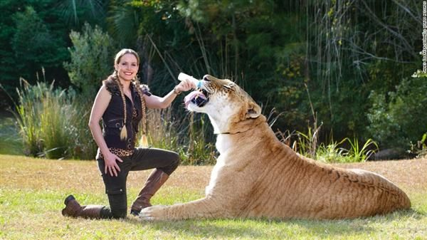 Hercules the liger is the only liger to ever appear within ...