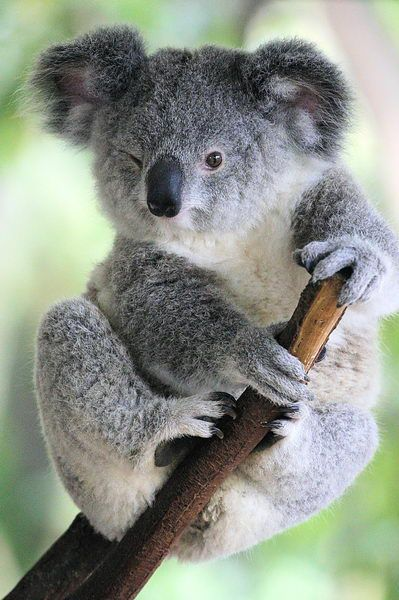 Lone Pine Koala Sanctuary - must see in Brisbane, Australia - can hug a koala and hand-feed kangaroos here