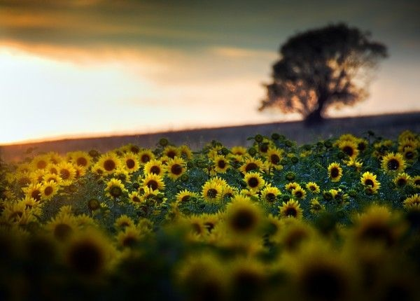 : Photo Speaking, Natural Photography, Fun Photo, Belle, Belles Prises, 13 Photo, Sunflowers Fields, De Beaux, Beaux Panoramas