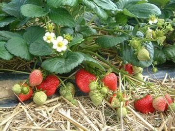 Plan to grow strawberries in your home garden and you will enjoy a delicious fruit that is high in vitamin C for eating off the vine or for your recipes. Click photo for Tips
