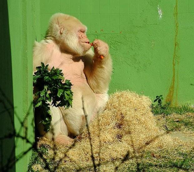 O gorila albino Floco de Neve no Zoológico de Barcelona, em 2003 (Foto: Atarom/Wikicommons)