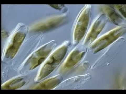 ▶20:02 Protists contain three groups: algae, slime molds (fungi) and protozoa. Euglenids-moves with flaglen/tail & has a red dot like an eye. Diatoms have glass cases. Amoebas & Heliozoans engulf food by spreading. Green, Colonial, & Ciliated Protists. Dated in some areas.
