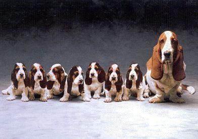 Basset Hound. El perro salchicha!