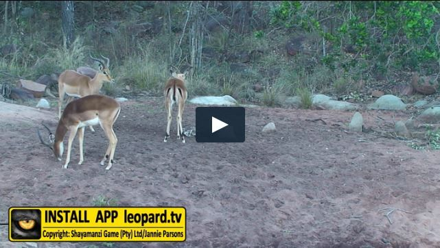 End your Monday with new footage taken at Tshwene dam! #leopardtv #africa #wildlife