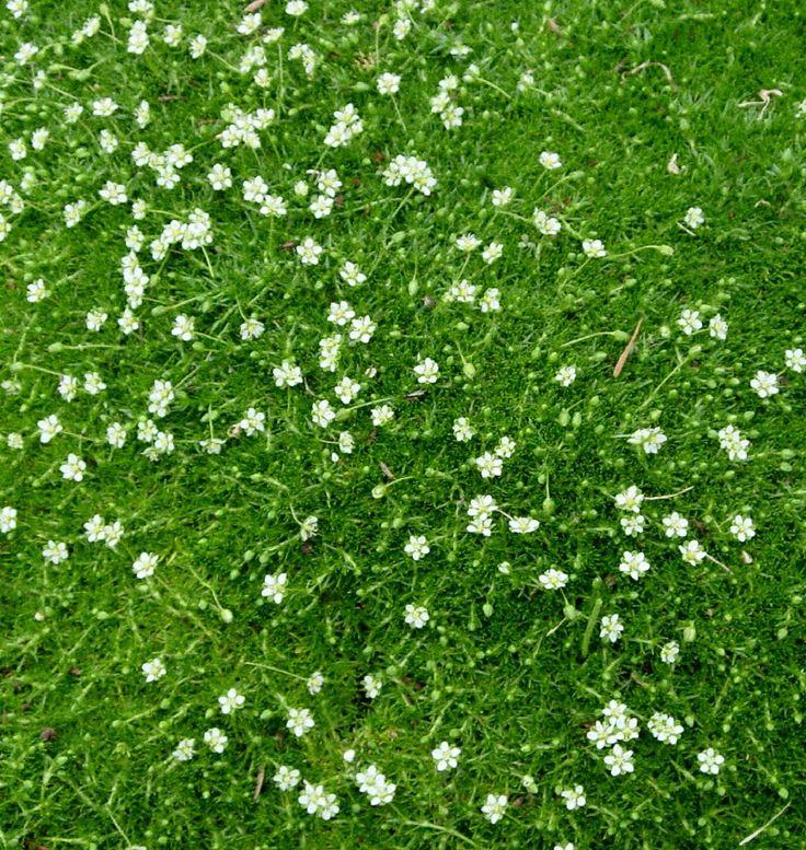 Wintergroene – groenblijvende bodembedekkers - Modeltuinen Zwanenburg   Sagina Subulata