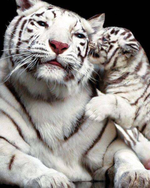 white tiger kisses   The 25 Cutest Animal Kisses - [someone else's caption]