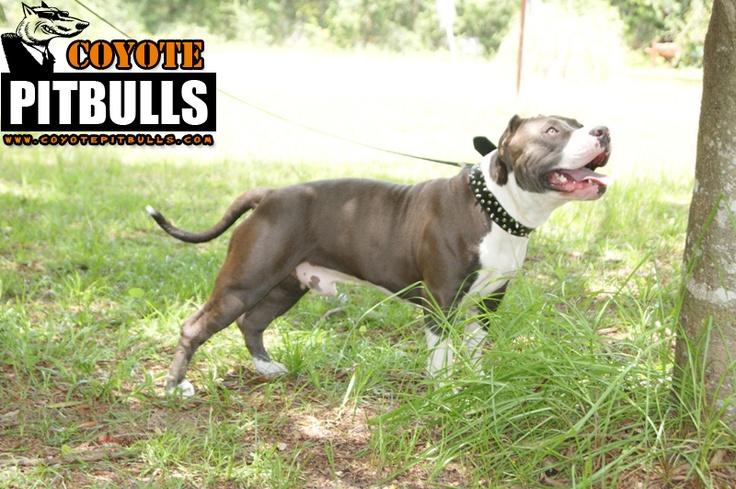 pics of pitbulls on steroids