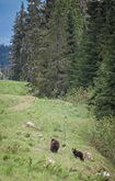 'This was a special bear viewing in the pristine alpine with a Mom and Cub in @[229915240383414:274:Whistler Olympic Park] on a @[141486049355176:274:Whistler Photo Safaris Ltd]  Bear safari. #blackbears #littlethingswhistler #whistler'