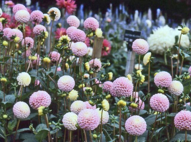 Dahlia ' KAY HELEN '  (Pom.)  Burton  UK  1981    (RHS)