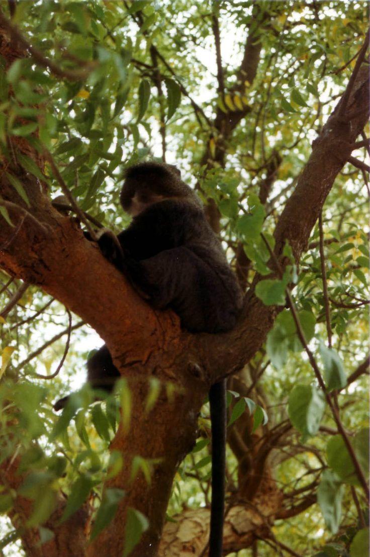 Scimmia in giardino, Mogadiscio, 1986; foto fabiovincenti