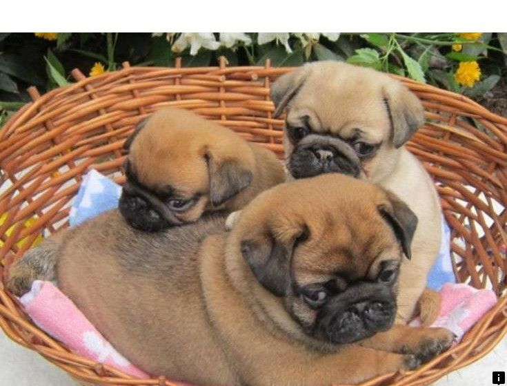Head To The Webpage To Learn More On Pugs For Adoption Near Me