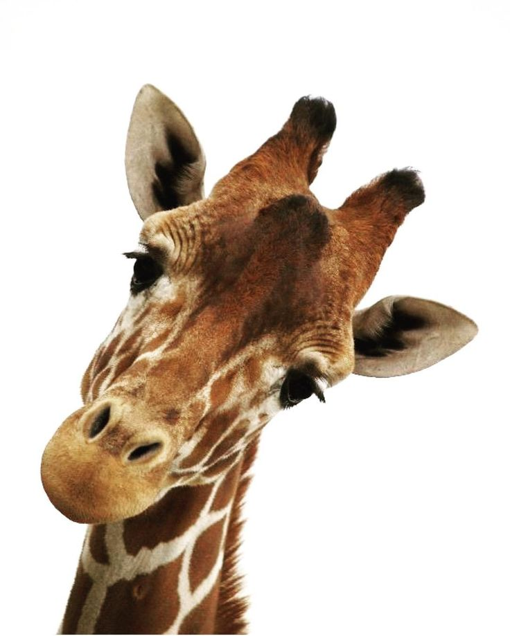 Amazing Giraffe Facts for Kids - Kids Play and Create