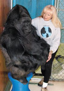 penny and koko the gorilla koko with dr penny patterson
