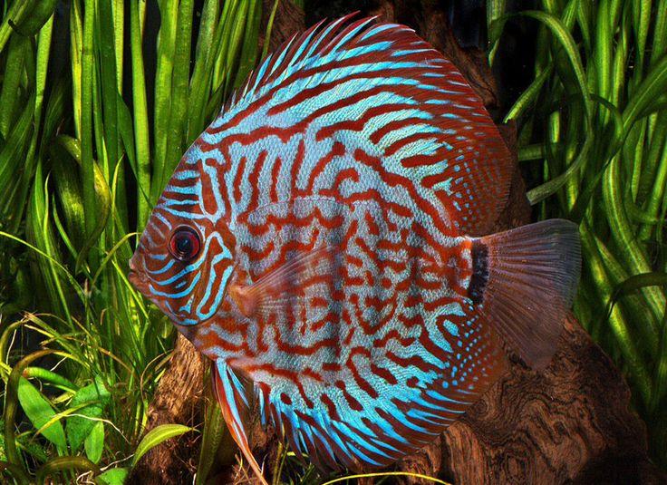 389 best magnifique discus images on pinterest discus for 405 tropical fish