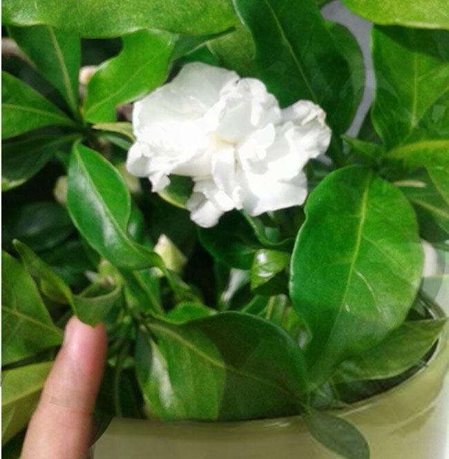 Growing Gardenia Plant With Images Growing Gardenias Gardenia