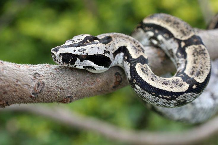 boa constrictor longicauda