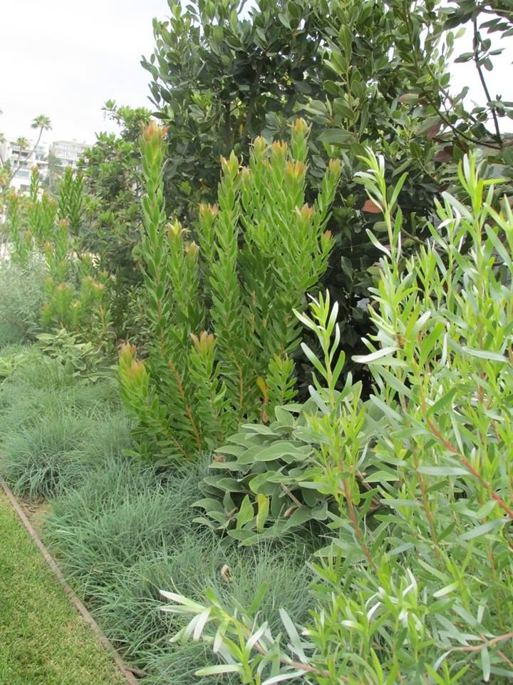 Muted greens, blues and silvers from Leucodendron 'Goldstrike', Leucodendron 'More Silver' and Carex 'Glauca'. http://rogersgardenslandscape.com/