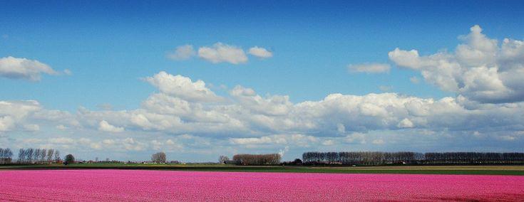 Tulpenvelden in het land van Hulst..