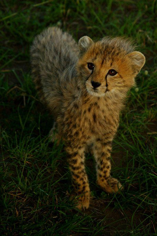 Baby cheetah   CAT   Pinterest