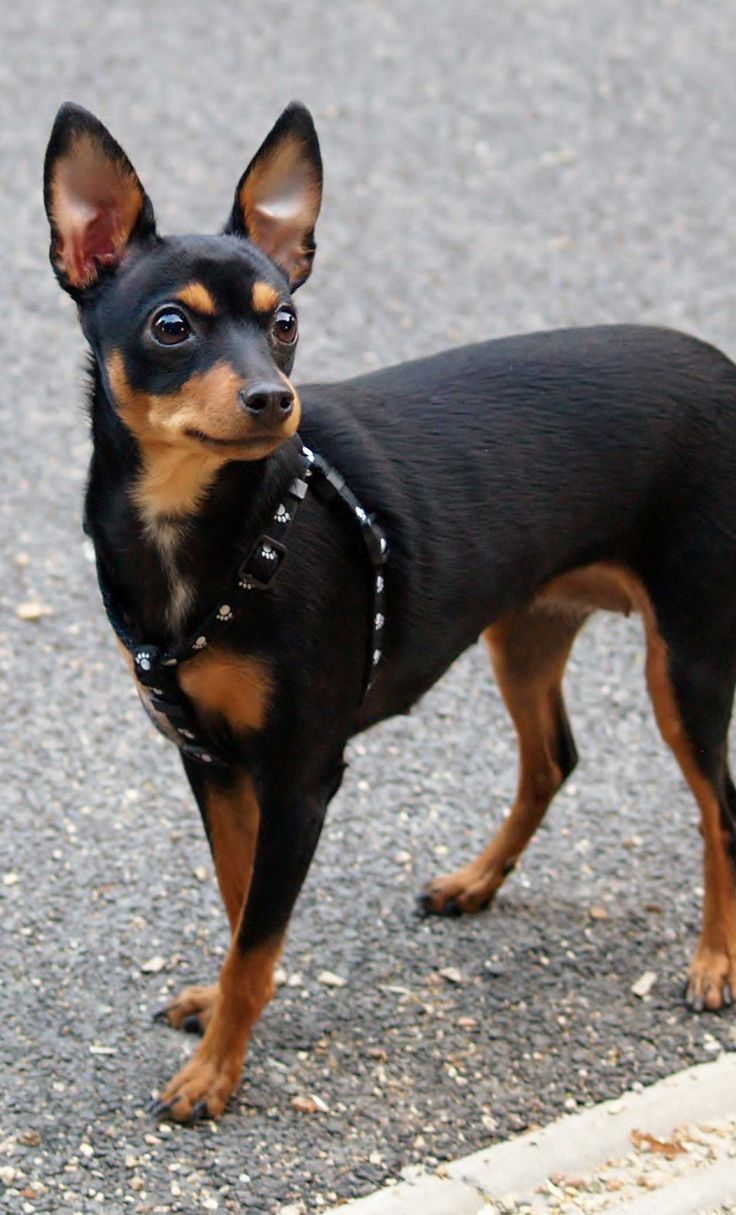 Mini Pinscher Rat Terrier Mix