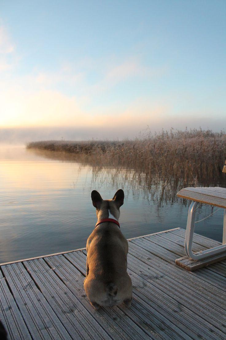 Ritva and the lake.  #rankanbulldoggi #frenchbulldog #lake #finland #fall