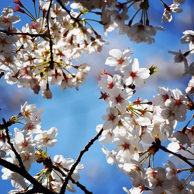 【kobapee21】さんのInstagramをピンしています。 《#leica #leica_camera #leicam #ライカ #カメラ #カメラ男子 #カメラ部 #カメラ女子 #カメラ好きな人と繋がりたい #japan #tokyo #cherryblossom #sakura #桜 #撮影 #spring #春  #東京 #日本 #leicadlux #leicadluxtyp109 #leicacamera  今年、市ヶ谷で撮影してみました。》